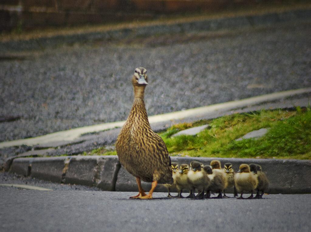 Ducks on Swan Street