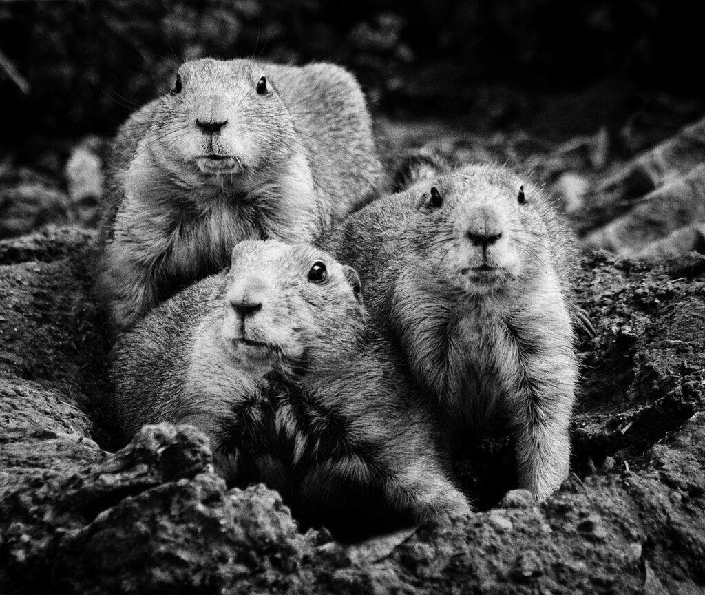 Prairie Dogs copy